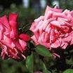 Antiques_rosa_napoleon-1.thumb