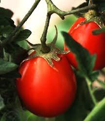 Tomato, Roma Ropreco (Italian Heirloom)