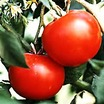 Tomato, Cherry Stupice (Czech heirloom, Pre-1900)
