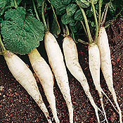 Radish_white_icicle_garden.medium.detail