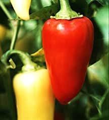 Peppers_capsicum_annuum_rio_grande_hot-1.full