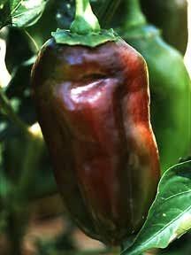 Peppers_capsicum_annuum_mole-1.full