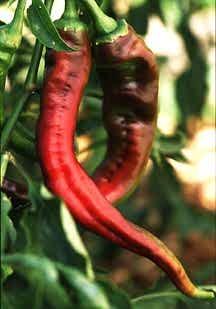 Peppers_capsicum_annuum_nardello-1.full