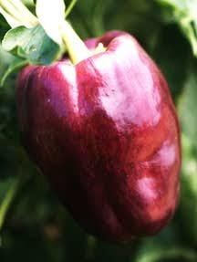 Peppers_capsicum_annuum_islander_lavender_belle-1.full