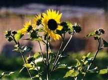Sunflower, 'Abendsonne'