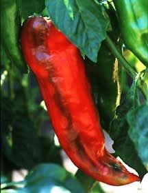 Pepper, Sweet 'Corno di Toro Red' (Italian Heirloom, Pre-1920)