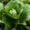 Lettuce, Romaine 'Sweet Valentine'