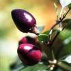 Pepper, Chile 'Pretty in Purple' (American Heirloom, 1930's)