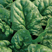 Spinach_bloomsdale.medium.detail