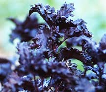 Basil, Purple Ruffled