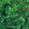 Parsley_forest_green.medium.thumb