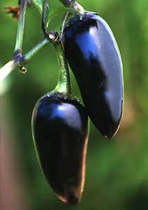 Pepper, Chile 'Czechoslovakian Black' (European Heirloom Early 1900's)