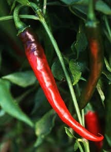 Pepper, Chile 'Ring-of-Fire Cayenne' (Mexican Heirloom, Early 1900's)