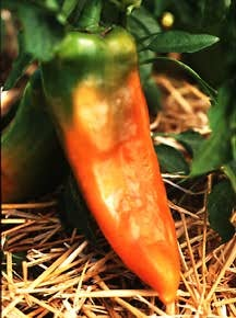 Pepper, 'Sweet Corno di Toro Yellow' (Italian Heirloom, Pre-1920)