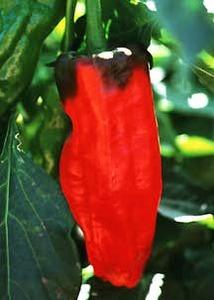Pepper, Sweet 'Equadorian Relleno' (South American Heirloom, Pre 1910)
