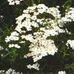 Yarrow, 'W. B. Childs'