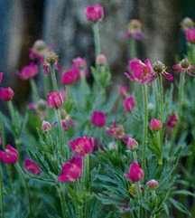 All_plants_anemone_x_lesseri-1.full