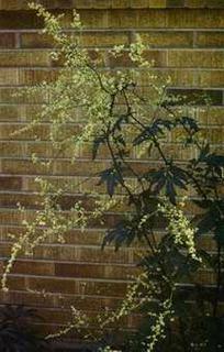 White Mugwort, 'Guizho'