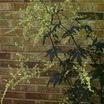 All_plants_artemisia_lactiflora_guizho-1.thumb