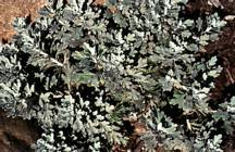 Artemisia_artemisia_stelleriana_silver_cascade-2.full