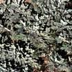 Artemisia_artemisia_stelleriana_silver_cascade-2.thumb