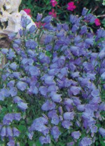 All_plants_campanula_cochleariifolia-1.full