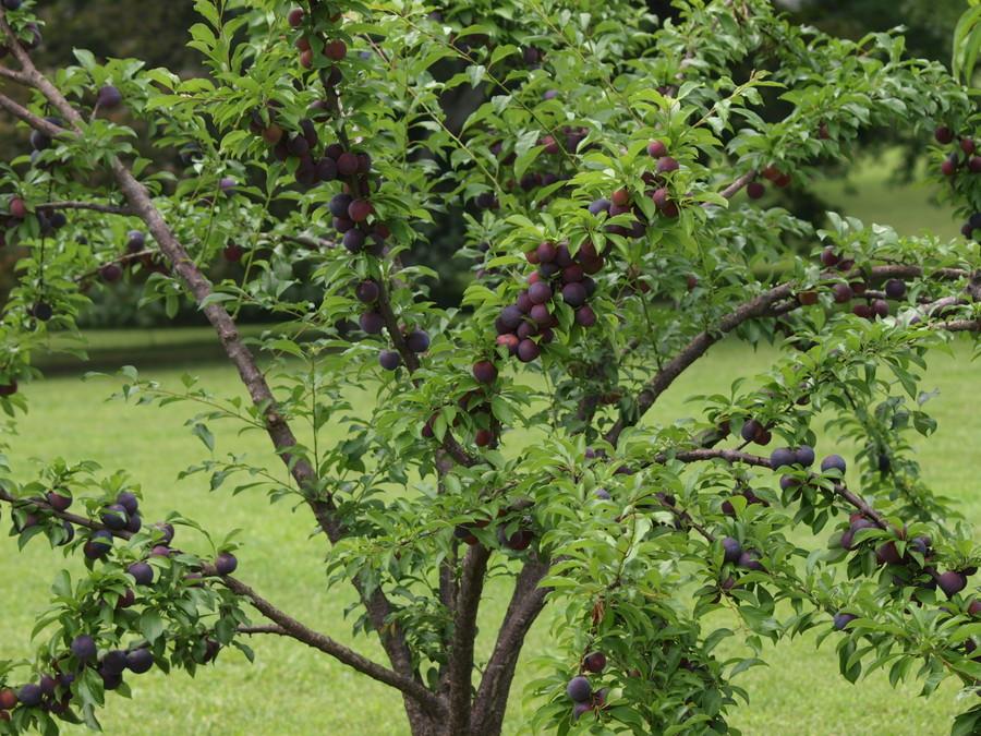 Best_plums.full