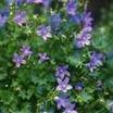 All_plants_campanula_portenschlagiana_muralis-1.thumb