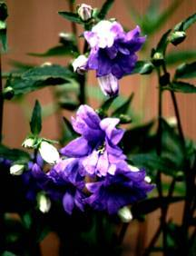 Bellflower, 'Bernice'
