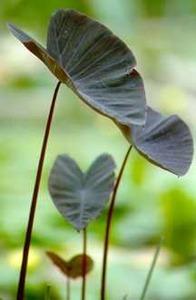 Hardy_bog_plants_colocasia_esculenta_black_magic-1.medium.detail