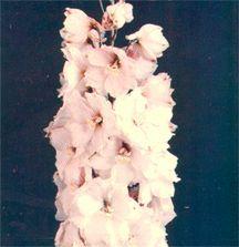 Delphinium, Pacific Giant Hybrid 'Galahad'