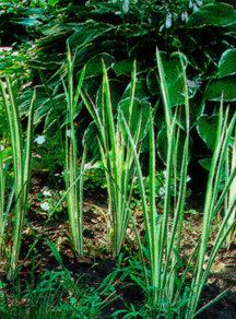 Ornamental_grasses_acorus_calamus_variegata-1.medium.detail