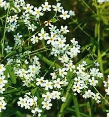 Spurge, Flowering