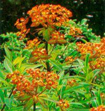 All_plants_euphorbia_griffithii_fireglow-1.full