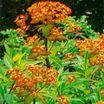 All_plants_euphorbia_griffithii_fireglow-1.thumb