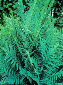 Fern, Leatherwood