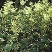 All_plants_filipendula_ulmaria_aureo-variegata-1.thumb