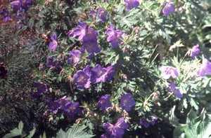 Geranium, 'Brookside'