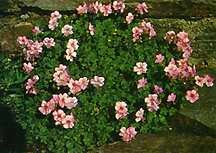 Geranium, Dalmatian