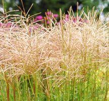 Grass, Maiden 'Nippon'