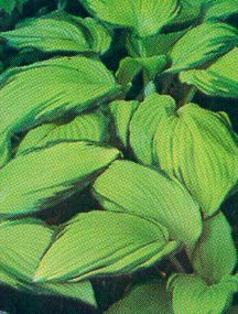 Hosta, 'On Stage'
