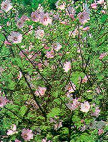 Tree Lavatera 'Barnsley'
