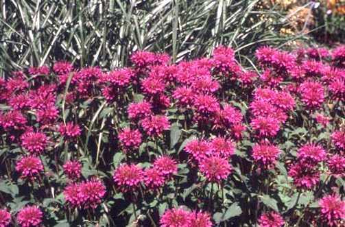 All_plants_monarda_x_bowman-1.full