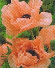 Poppy, Oriental 'Maiden's Blush'