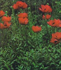 All_plants_papaver_orientale_warlord-1.full
