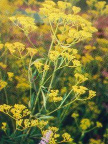 Patrinia, scabiosifolia