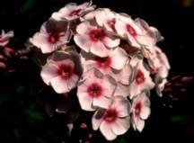 Phlox, Summer Garden 'Prime Minister'