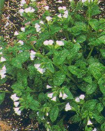 Lungwort, 'White Wings'