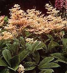 Rodger's Flower, henrici