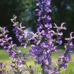 All_plants_salvia_haematodes_indigo-1.thumb
